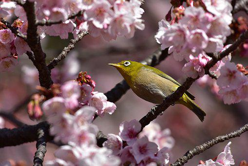 Wood, Flowers, Branch, Natural, Cherry, Bird
