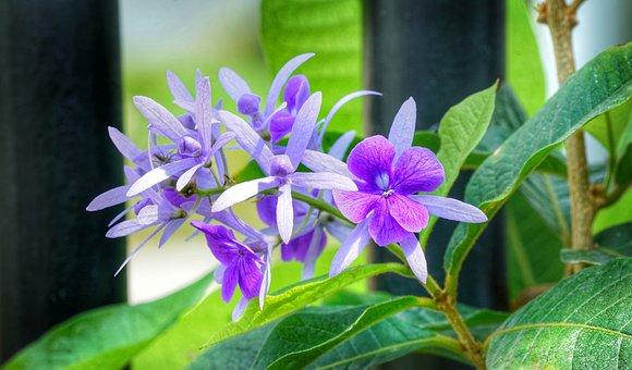 Petrea, Climbing, Vine, Purple, White, Flower, Flora