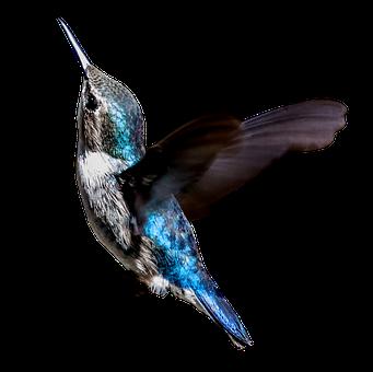 Cuba, Hummingbird, Zunzuncito, Colibri, Turquoise, Bird