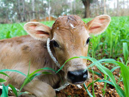 Farm, Animal, Grass, Nature, Cow