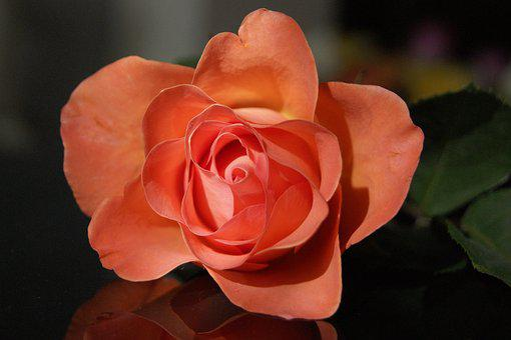 Flower, Rose, Petal, Nature, Plant, Floral, Love