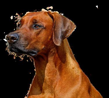Dog, Isolated, Hundeportrait, Animal, Nature