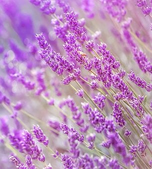 Lavender, Summer, France, Flower, Nature, Plant