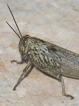 Grasshopper, Lobster Ortóptero, Detail, Foreground