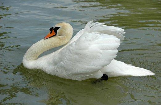 Swan, Swim, White, Pond, Majestic