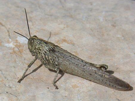 Grasshopper, Lobster Ortóptero, Nature, Animalia