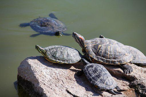 Turtle, Reptile, Tortoise, Nature, Shell