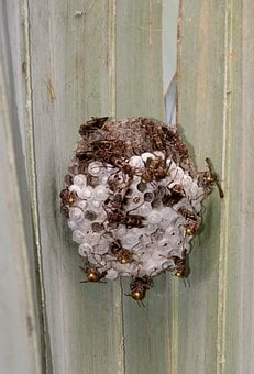 Wasps, Nest, Insects, Paper Wasp, Poliste Fuscatus