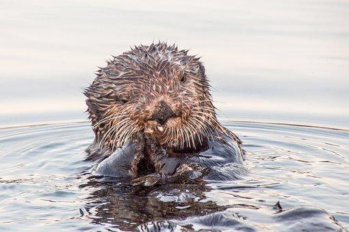 Otter, Seward, Alaska, Wildlife, Waters, Nature