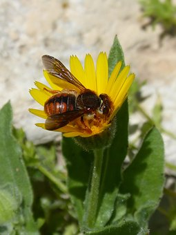 Red Bee, Rhodanthidium Sticticum, Libar, Dandelion