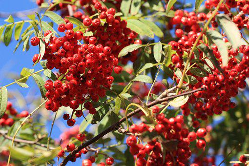 Fruit, Rowanberries, Nature, Tree, Leaf, Berry