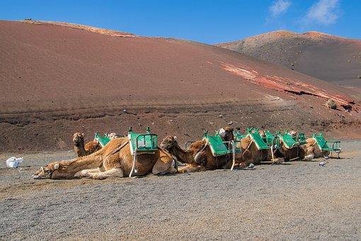 Sand, Desert, Camel, Travel, Canary Islands