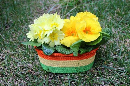 Primula, Prymulka, Flower Pot, March, Spring, Flower