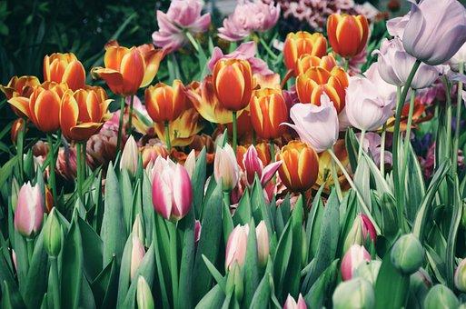 Tulip, Flower, Garden, Easter, Nature, Sheet, Plant