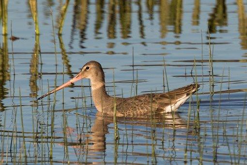 Spain, Doñana, Aguja Colinegra, Water, Nature, Lake