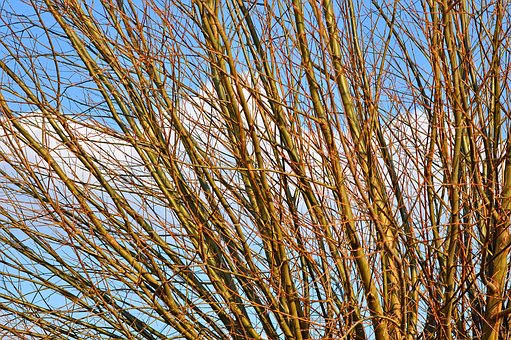 Willow, Willow Branch, Branch, Wood, Willow Wood