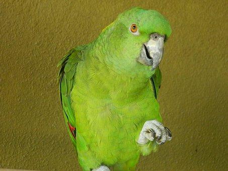 Parrot, Bird, Animal, Wildlife, Parakeet, Amazon