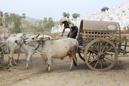 Farm, Agriculture, Cart, Cattle, Mammal, Asia, Myanmar