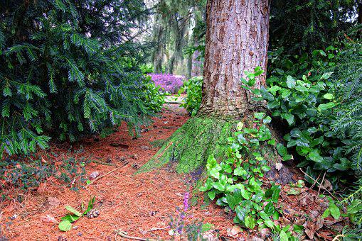 Conifer, Pine Tree, Tree, Needles, Cone, Trunk, Foliage