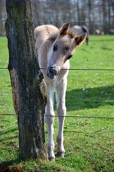 Wild Horse, Foal, Dülmen Germany, Merfelder Break