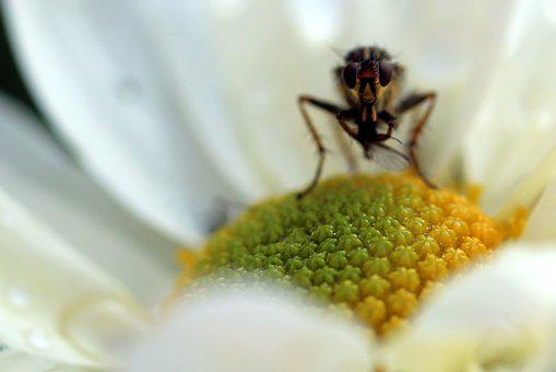 Insect, Nature, Close, Plant, Flower, Fly, Eyes