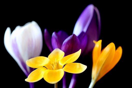 Crocus, Flower, Nature, Plant, Petal, Bright, Petals