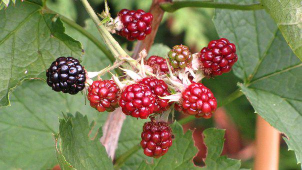 Fruit, Nature, Berry, Food, Leaf, Savory, Delicious