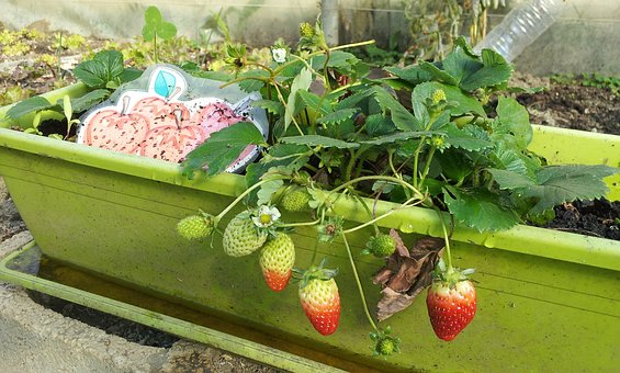 Strawberries, Cultivation, Ecological, Food, Vegetable