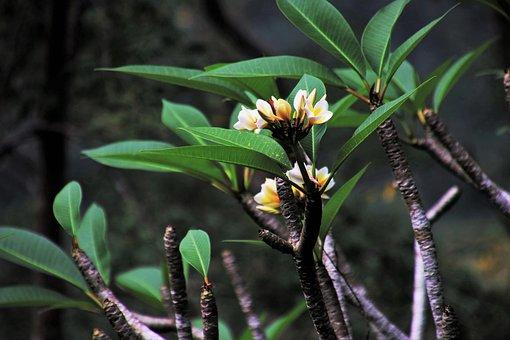 Tropical, Frangipani, Nature, Plant, Leaf, Flower