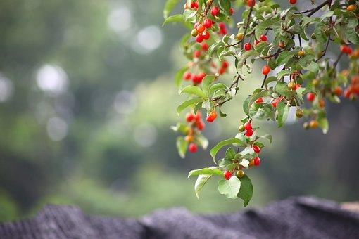 Leaf, Nature, Fruit, Quarter, Zhang And, Bodhi, Spring