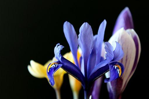 Lily, Early Bloomer, Purple, Crocus, Black, Yellow