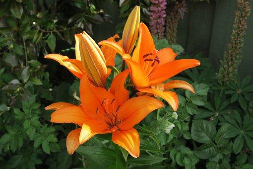 Flower, Garden, Flora, Nature, Summer, Lily, Orange