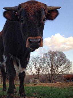 Cow, Cattle, Mammal, Agriculture, Farm, Rural, Curious