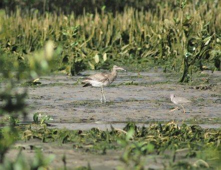 Water, Bird, Wildlife, Nature, Swamp, Shorebird, Animal