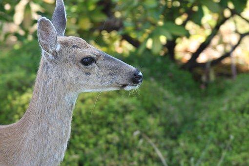 Animal, Wildlife, Nature, Mammal, Deer