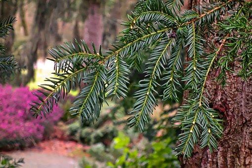 Conifer, Branch, Conifer Branch, Needles, Pine