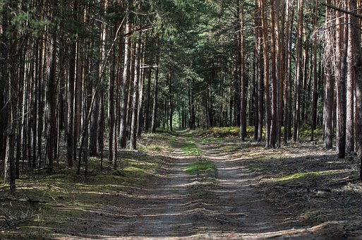 Forest, Forest Path, Pine, Wood, Nature, Tree
