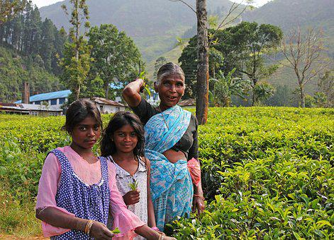 Tea, The Tea Plant, Plantation, Herbs, Plant, Work