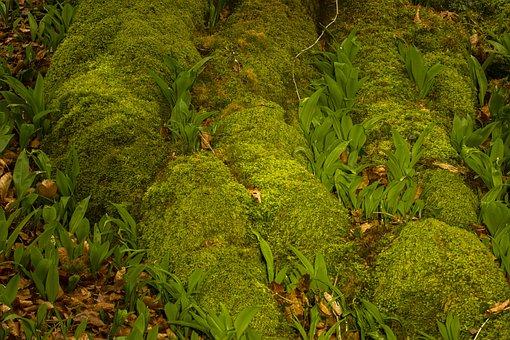 Bear's Garlic, Moss, Root, Green, Spring