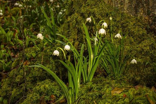 Snowflake, Snowdrop, Wild Flower, Spring Flower