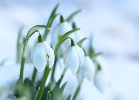 Snowdrops, Spring Flowers, Flower Bulbs, White, Snow