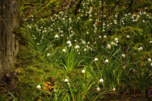 Snowflake, Snowdrop, Wild Flower, Early Bloomer