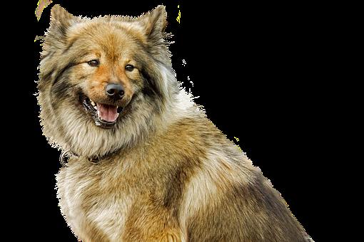 Dog, Isolated, Eurasians, Animal, Hundeportrait