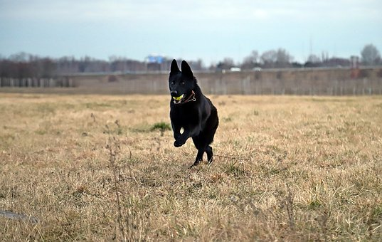 Black German Shepherd, Dog, Ball, Game, Beauty