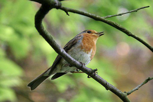 Bird, Nature, Animal World, Animal, Branch, Robin