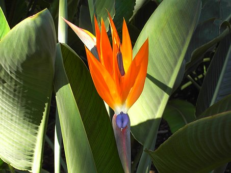 Nature, Plant, Bird Of Paradise Flower, Leaf, Tropical