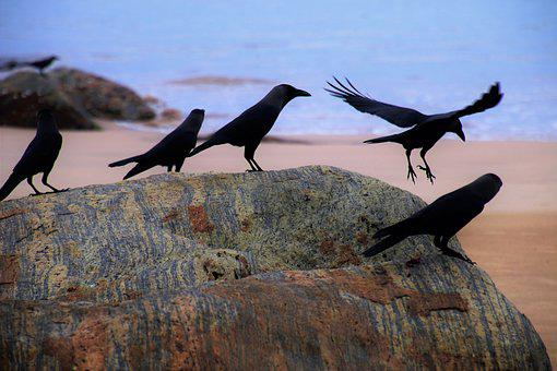 Raven, Beach, Ocean, Blue, Black, Cruise, Water, Birds
