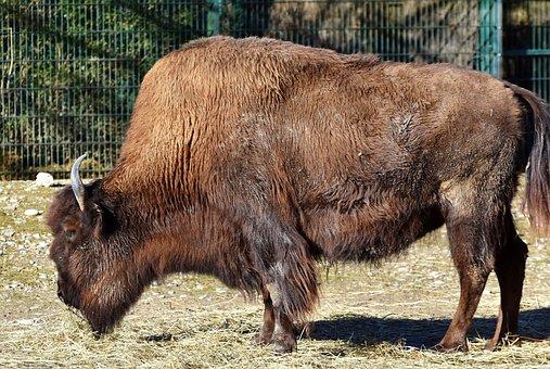 Bison, Bison Head, Bison Bonasus, Buffalo