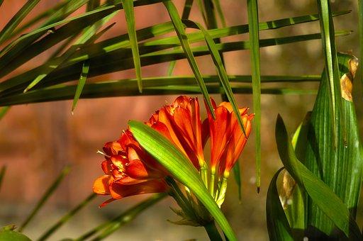 Clivia, Flower, Plant, Clivia Miniata, Blossoming