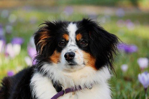 Miniature, Australian Shepherd, Black Tri, Dog, Animal